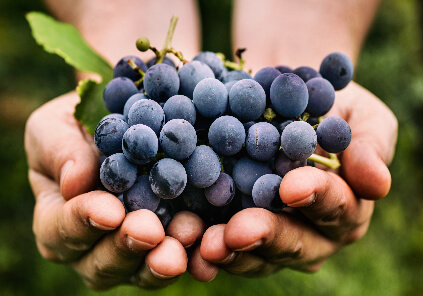 Arrowhead Wine Grapes in Hand